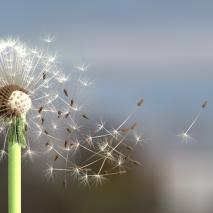 dandelion-100smpl