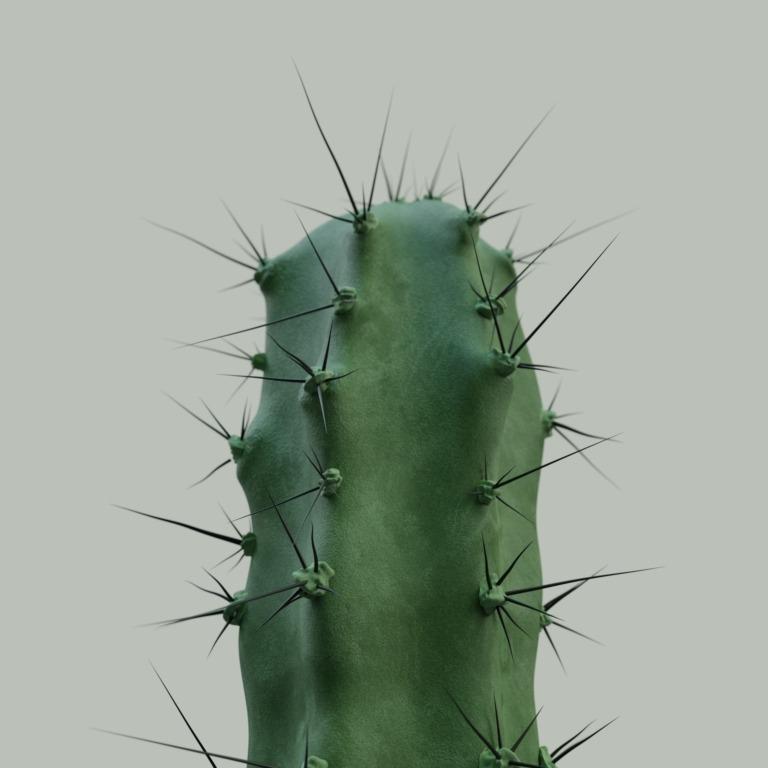 cactus_velluto